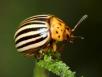 Как бороться сколорадским жуком?