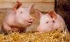 Свиньи вдекабре