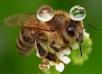 Пчёлы ивода