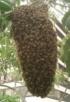 Не мешайте роению пчел