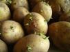 Способы проращивания картофеля