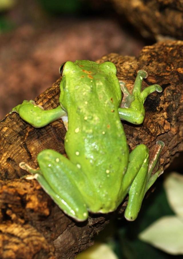 Эти лягушки распространены по всему миру.
