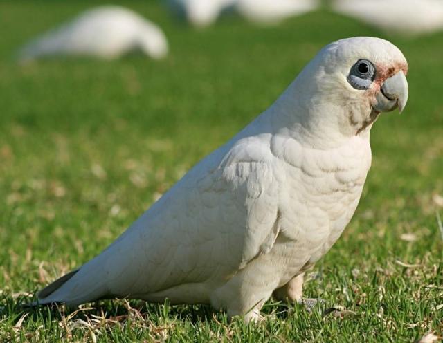 Чтобы снизить агрессивность самцов в период размножения, им подрезают крылья.