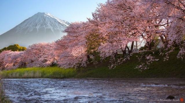 Цветущие вишни у берега реки на фоне величественной горы Фудзи, окутанной туманом.
