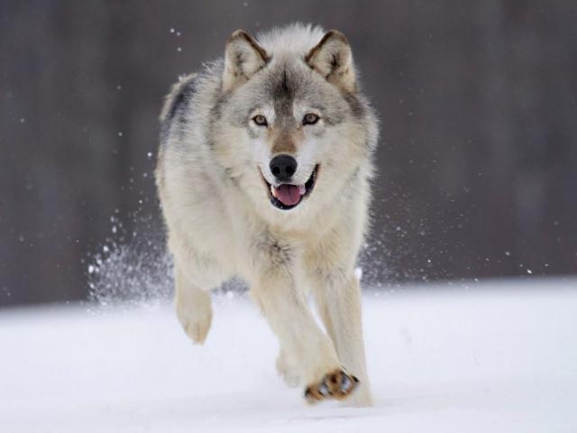 Зимние обои на рабочий стол бегущий волк в зимнем лесу