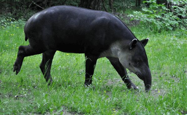 tapir8