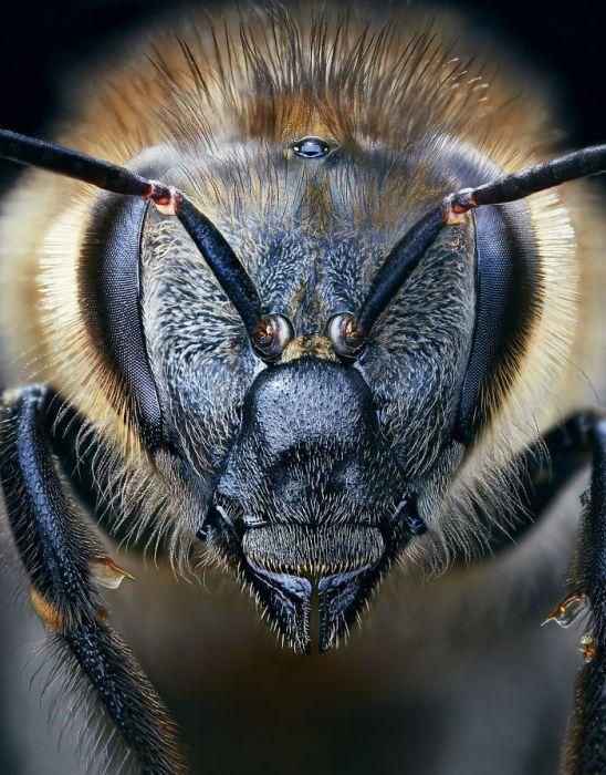 Европейская медовая пчела. Автор: Tim Flach.