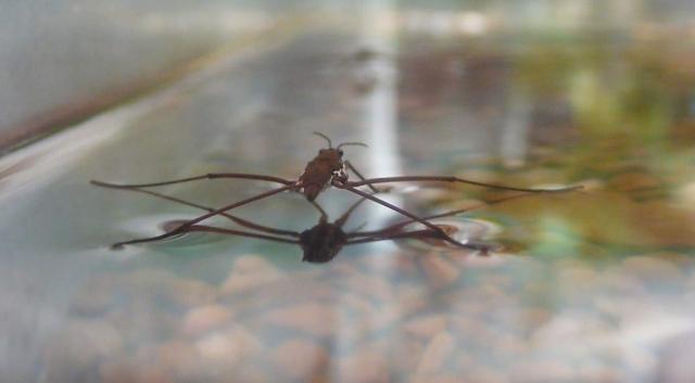 Узкое длинное тело водомерки при резких и быстрых движениях великолепно рассекает воздух.