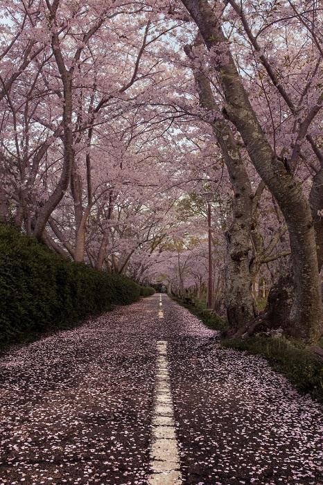 Дорога в пригороде префектуры Аити, усыпанная розовыми лепестками сакуры.
