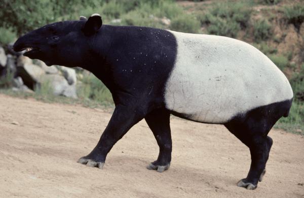 tapir9