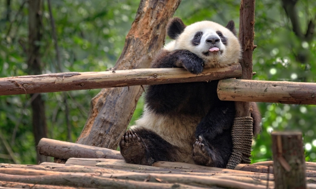 50 панд, на которых можно смотреть бесконечно<span>Слава природе за то, что она создала этих существ!</span>