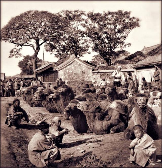 Мужчины позируют с верблюдами. Верблюды были основным транспортом до появления нормальных дорог и железнодорожного сообщения. Пекин, 1901 г.