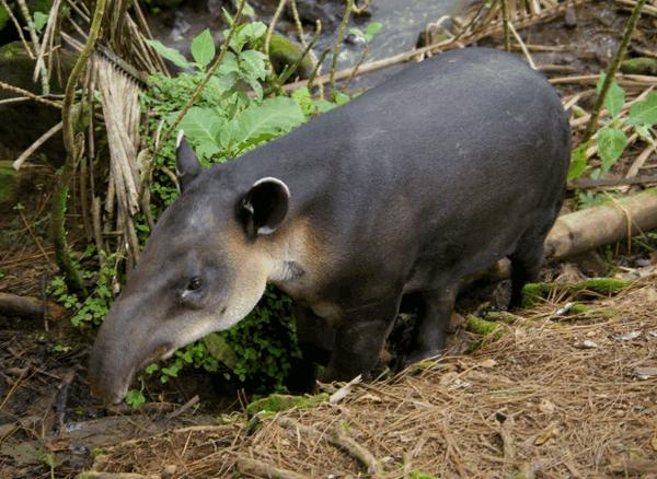 centralnoamerikanskii tapir
