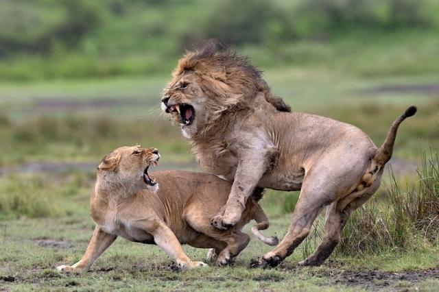 Особой отметки жюри в категории «Животные в естественной среде обитания» удостоился итальянский фотограф Пьерлуиджи Риццато (Pierluigi Rizzato).