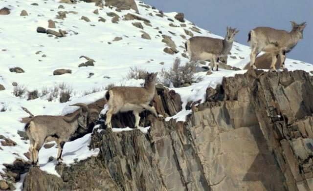 Разгуливая по склонам, нахуры стараются придерживаться скал, дабы в момент опасности была возможность быстро скрыться среди склонов.