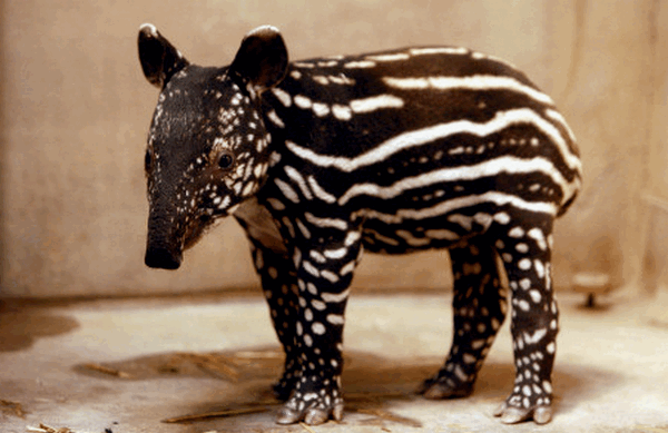 tapir10