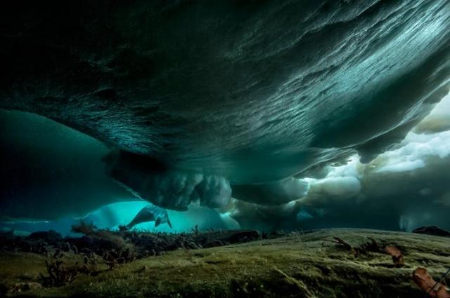 Тюлень под морским льдом