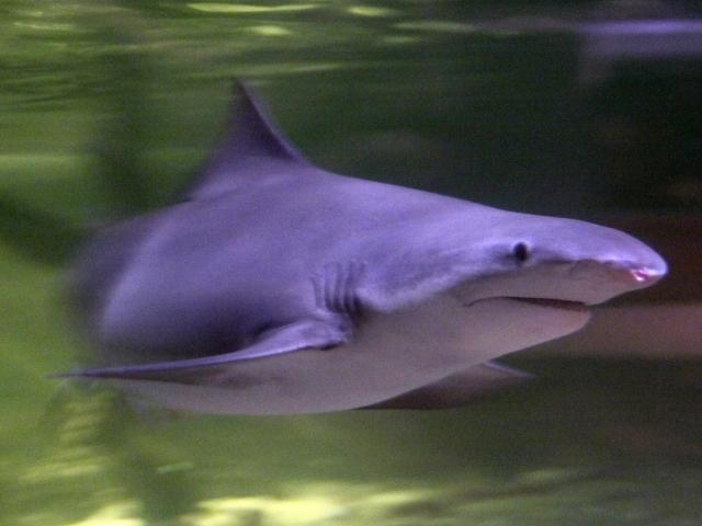 Международный союз охраны природы присвоил этому виду статус сохранности «На грани исчезновения».