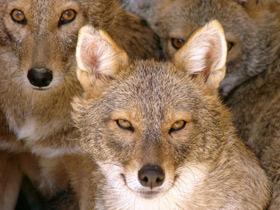 Фото Самые маленькие волки – шакалы и койоты