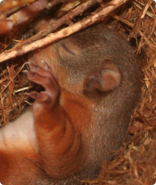 В зоопарке Белфаста на свет появились новые бельчата