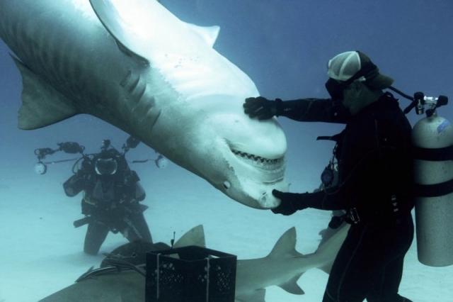 Приручение гигантской тигровой акулы