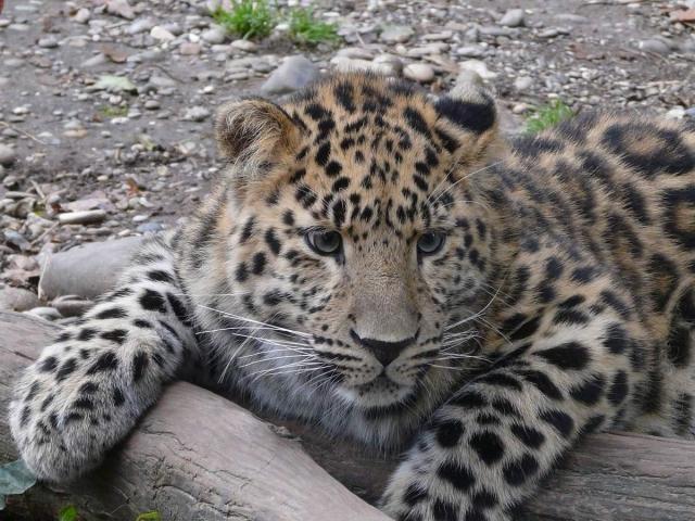 Дальневосточный леопард - исчезающее животное.
