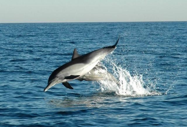 Дельфин-белобочка является самым распространённым представителем своего семейства вокруг европейского континента.