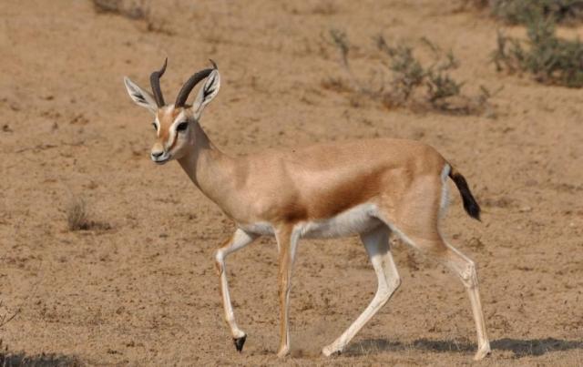 Газель-доркас (Gazella dorcas).