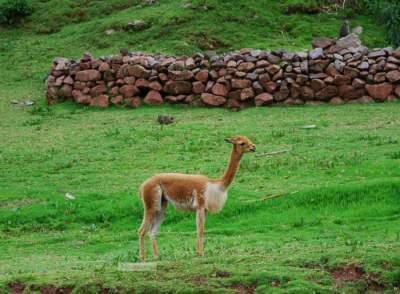 Викуньи: исчезающие животные, называемые «посланниками богов». Фото