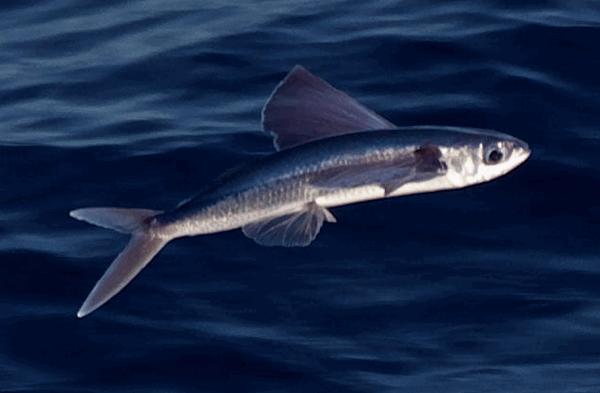 letuchaia ryba6