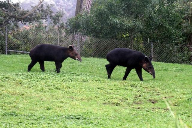 Горные тапиры в зоопарке.