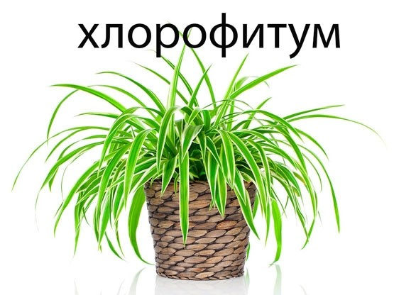 """Результат пошуку зображень за запитом """"Растения, которые делают воздух в квартире лучше - фото."""""""