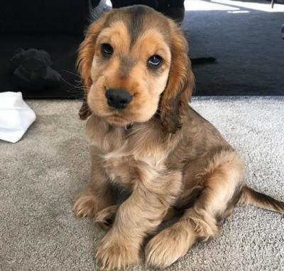 В Сети назвали десять самых милых пород собак. Фото
