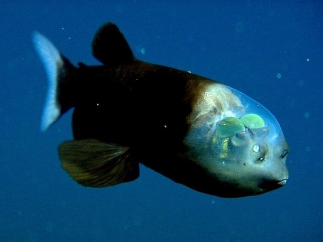 Рыба на дне Марианского желоба