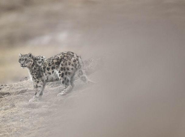 Снежный барс в объективе Венсана Мюнье