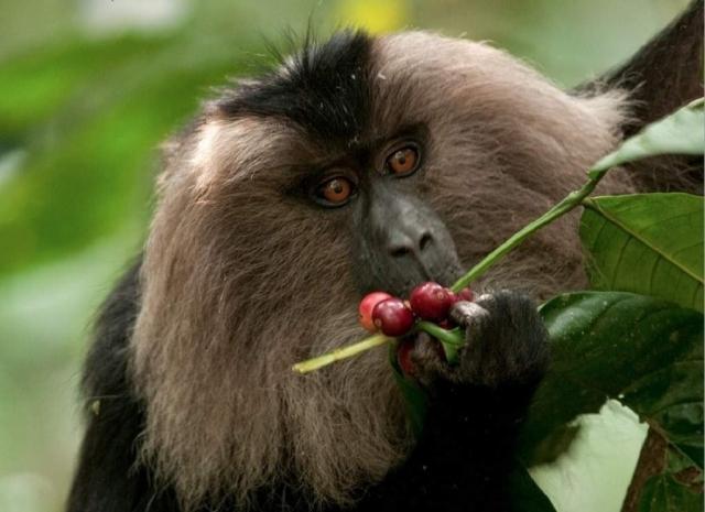 Нередко макаки, попробовав плод, его выбрасывают. Таким образом, они определяют ядовитые ягоды и плоды.