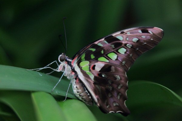 спящая бабочка