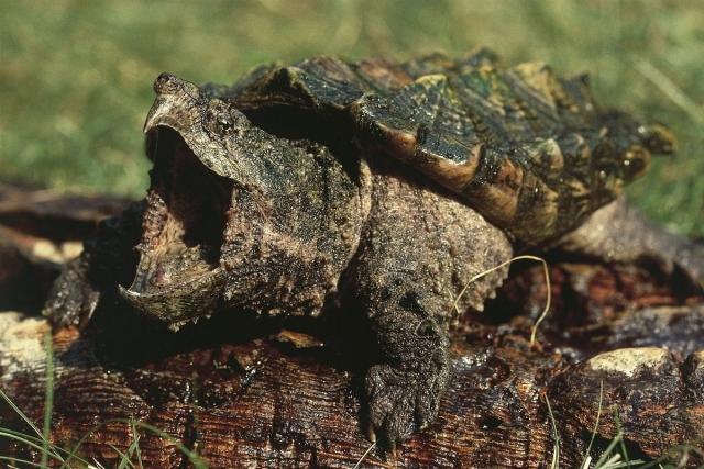 Челюсти этой черепахи опасное оружие.