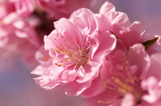 Картинки по запросу цветы жизни японии