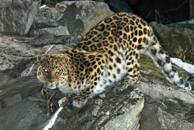 Амурский леопард - жертва браконьеров.