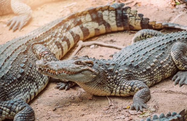 крокодил_1