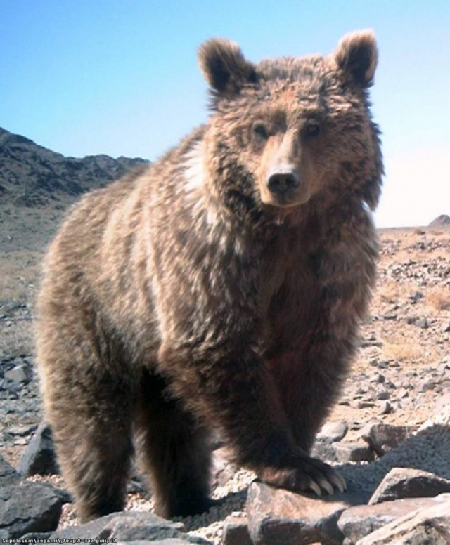 Гобийский бурый медведь (Ursus arctos gobiensis).
