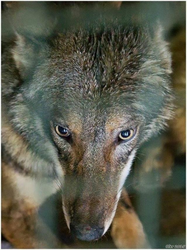 Возвращение домой волка Олиеля