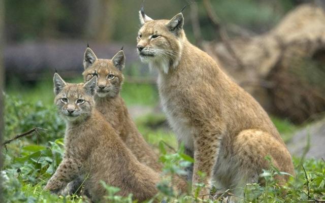 Обыкновенная рысь lynx с детенышами фото