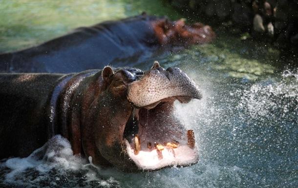 Крокодил попал в потасовку со стадом бегемотов
