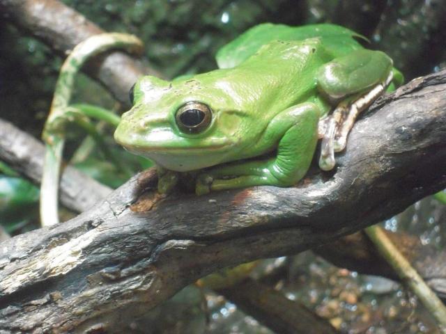 Существует множество разновидностей веслоногих лягушек.