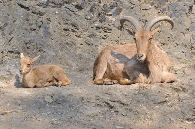 Благодаря хорошему зрению, слуху и обонянию, гривистые бараны способны заметить хищника на таком расстоянии, что успевают скрыться.