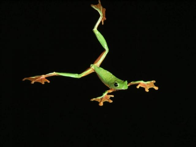 Полет веслоногой лягушки.