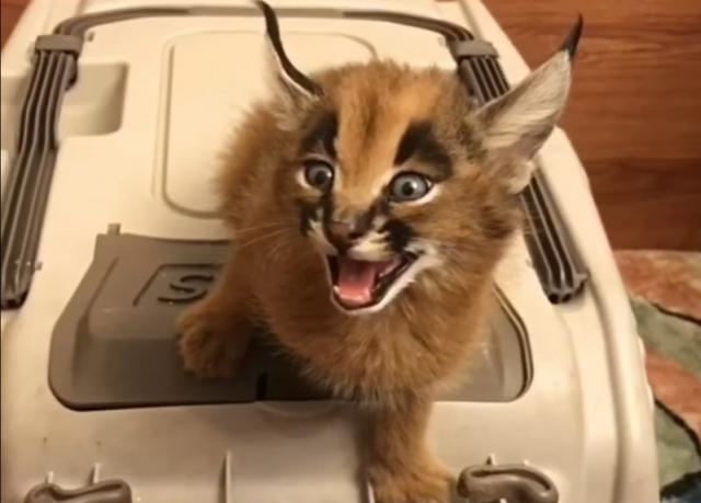 """Результат пошуку зображень за запитом """"Очаровательные котята каракала анимации"""""""