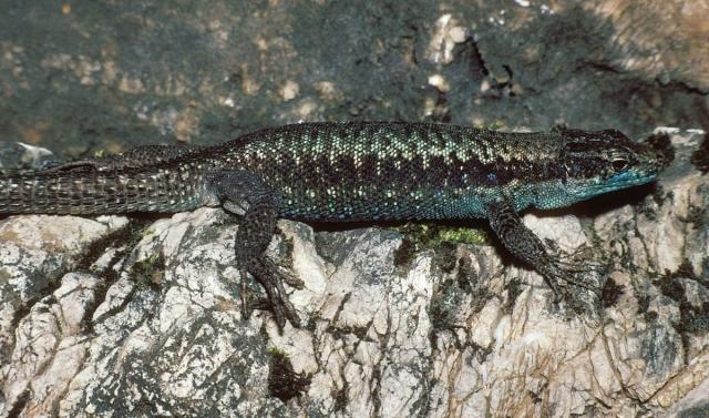 Грузинская ящерица часто встречается на Кавказе.